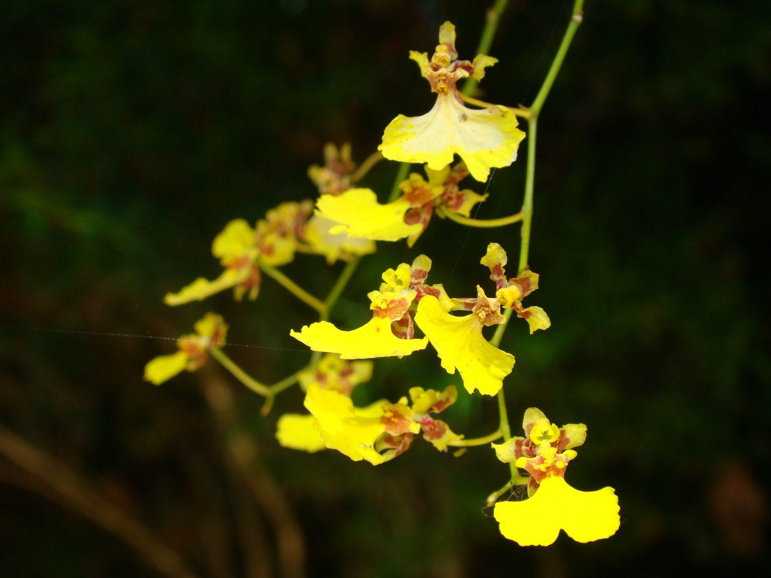 Orquídeas Nativas